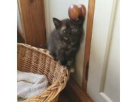 Adorable half Persian kittens for sale. Last of litter.