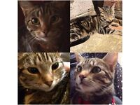 Lost Female Tabby