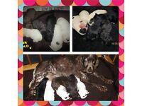 cockapoo f1 puppys Pra Clear