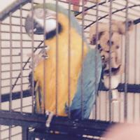 Blue and gold macaw located in Rocky Mtn House