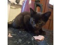 Male kitten 9 weeks