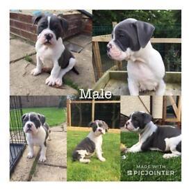 Dorset Olde Tyme Bulldogge puppies.
