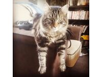 Lost long haired male tabby