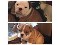 Male & female english bulldog babies KC reg. chunky wrinkles