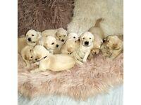 PEDIGREE, KC REGISTERED | ADORABLE GOLDEN RETRIEVER PUPPIES