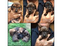 Miniature smooth haired dachshund puppies for sale