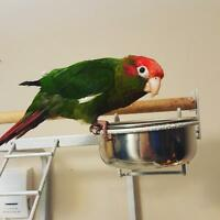 Rose Crown Conure for sale