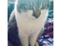 Fluffy tom boy cat £20