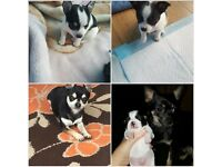 2 chihuahua boy puppies