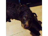 For Sale 1 year old Patterdale Terrier (male)