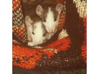 2 Dumbo rats for sale // brothers // very cute