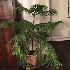 Araucaria indoor tree, unique tree