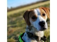 Male beagle
