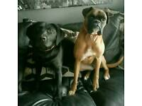 6 year old boxer and 1 year old labrador
