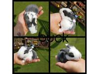 mini lop babies available for RESERVE ONLY