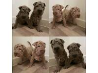 sharpei puppies blue or lilac