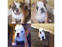 Four beautiful boys bulldogs puppies