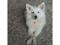 White german spitz girl looking home