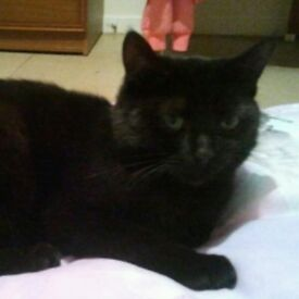 2 year. Old black cat whith papperwork
