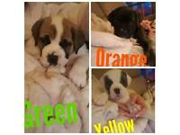 American Bulldog x Mastiff Puppies