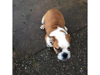 English bulldog puppie