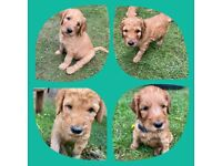 Standard-Size Fox Red F1B Labradoodle Puppies