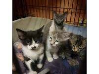 Lovely little kittens serengetti x