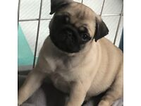 Pug Puppy 1 Girl Ready Now