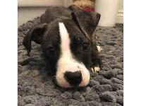 Staffy X Pup For Sale.