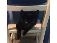 Short-haired black cat missing
