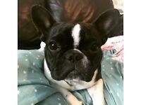 Stunning Female French Bulldog KC Registered