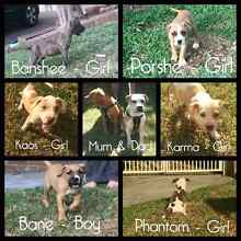 6 gorgeous bull breed puppies 12 weeks old Campbelltown Campbelltown Area Preview