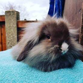 beautiful mini lion lops available now