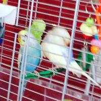 2 budgies plus cage for sale