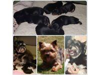 Yorkshire Terrier x Miniature Schnauzer