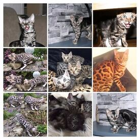 TICA Reg Pedigree Silver Charcoal & Brown Marble Bengal Kitten Cats For Sale