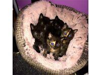 Beautifull kittens for sale!