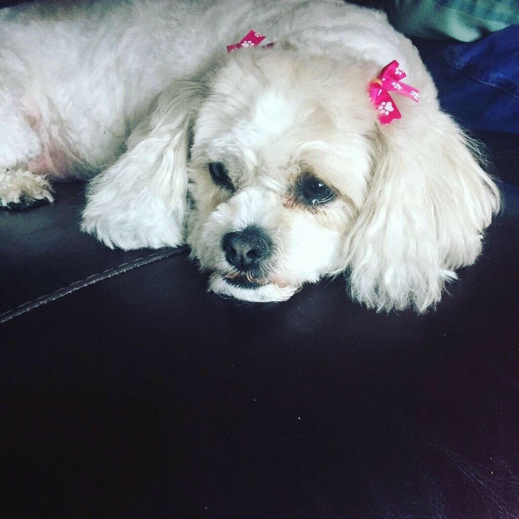 Dog Grooming By Louise Connelly In Summerston Glasgow Gumtree