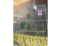 Budgie pair with cage and all accessories
