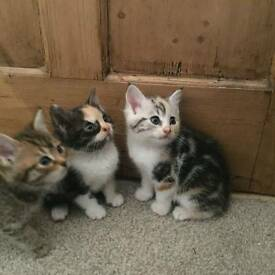 Half Persian kittens