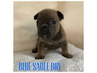 French bulldog puppies ready in 4 weeks. Stud Dog bronze health tested.
