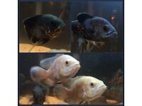 £50 for all 6 Oscar Cichlids 3 types 2 of each