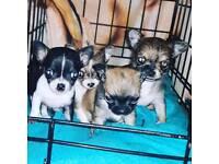 Chihuahua puppy's xxx