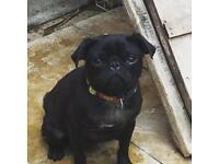 Pug small black young Adult female for sale