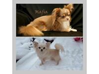 Chihuahua puppy's long coat