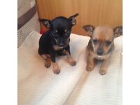 Chiuahuah cross mini pincha puppies