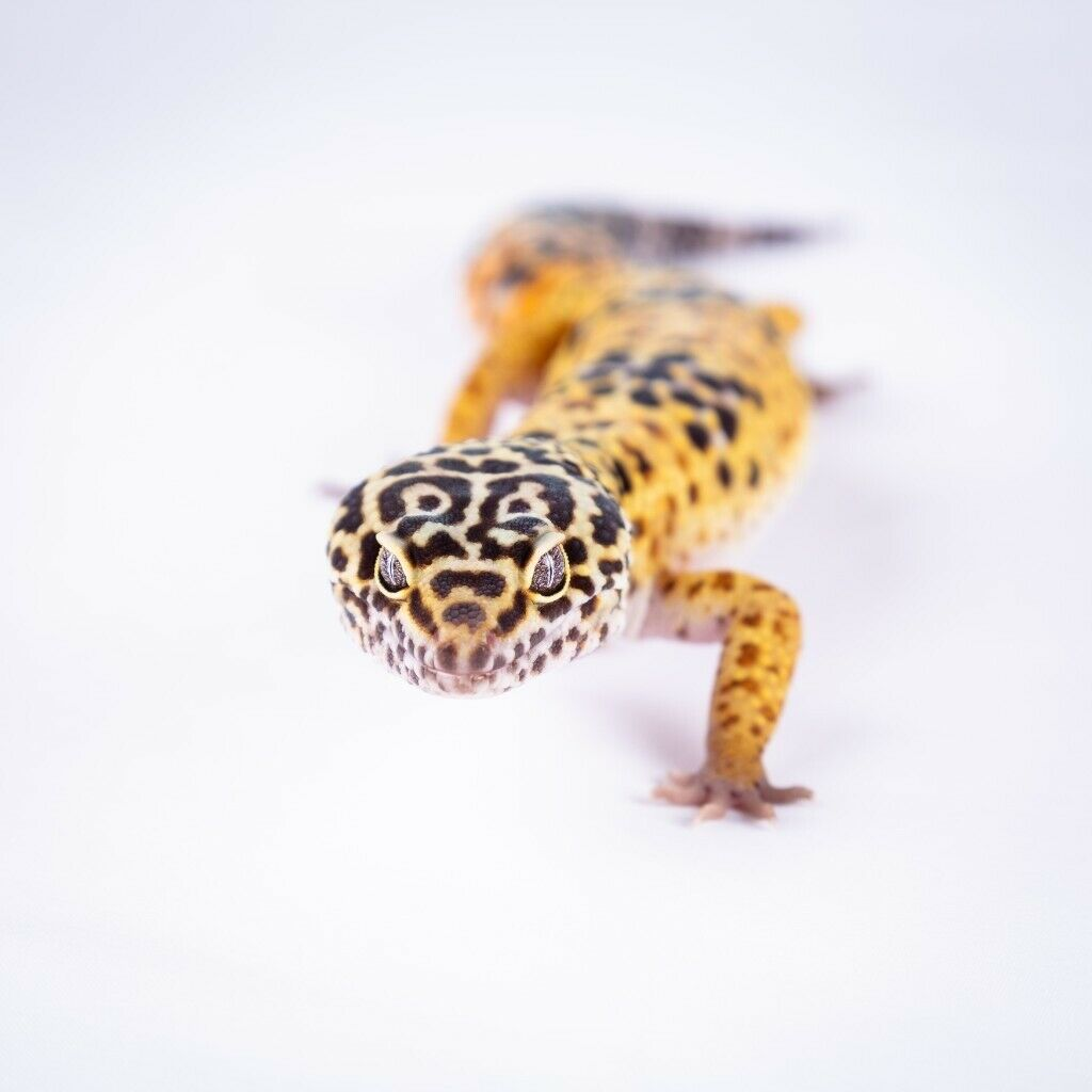 Leopard Gecko Tame And Beautiful With All Accessories Including 3ft Vivarium In Bristol