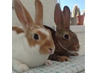 Beautiful mini Rex rabbits, does and bucks available