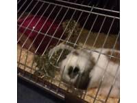 Male mini lop rabbit and indoor hutch
