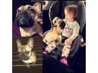 Missing fawn french bull dog much loved family pet